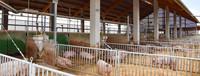 biologischer Schweinestall
