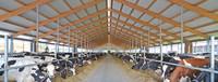 Boxenlaufstall mit Kühen