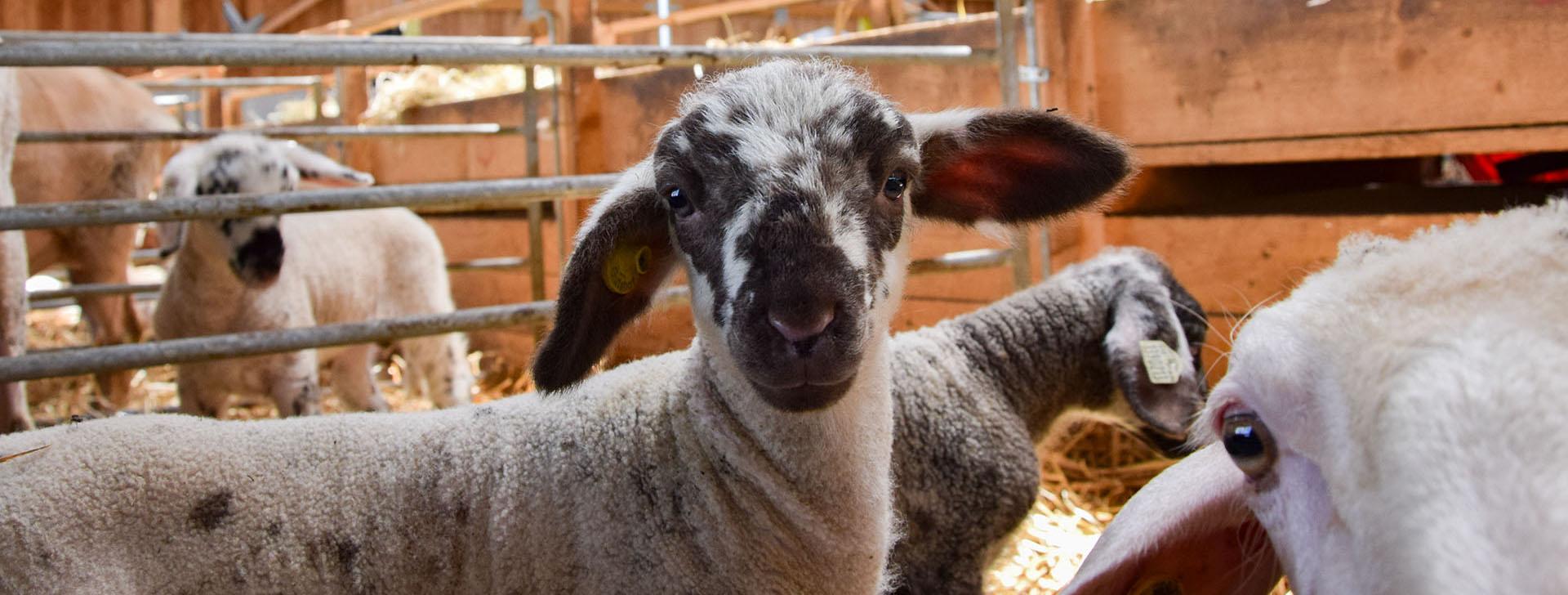 Lamm in Schafstall